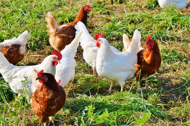 chicken-report-2018-rabobank-poultry