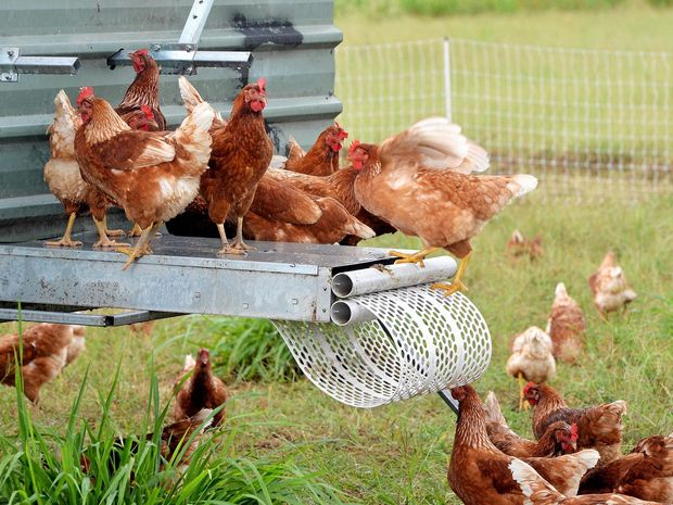 welfare-animals-chicken-field