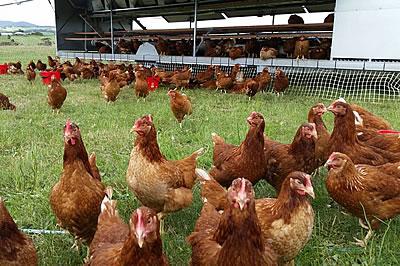 gripe-aviar-aves-de-corral-1