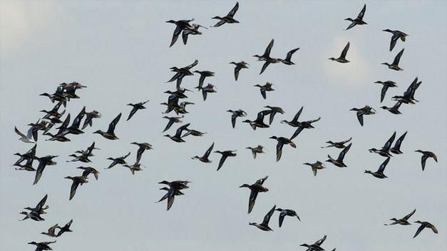 gripe-aviar-aves-migratorias-2